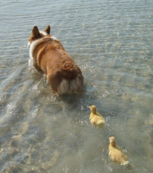 Corgi and Ducklings