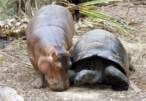 Hippo and Tortouise