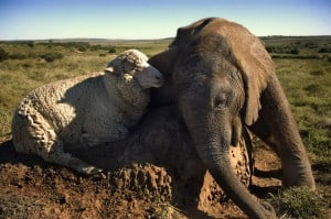 Elephant and Sheep2