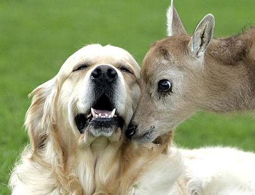 Golden retriever and fawn