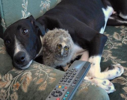 Greyhound and Baby Owl