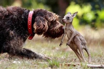 Kangaroo and Dog