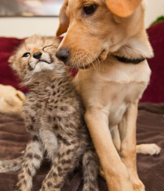 Leopard and Golden Retriever