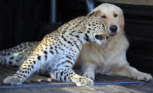 Leopard and Golden Retriever2