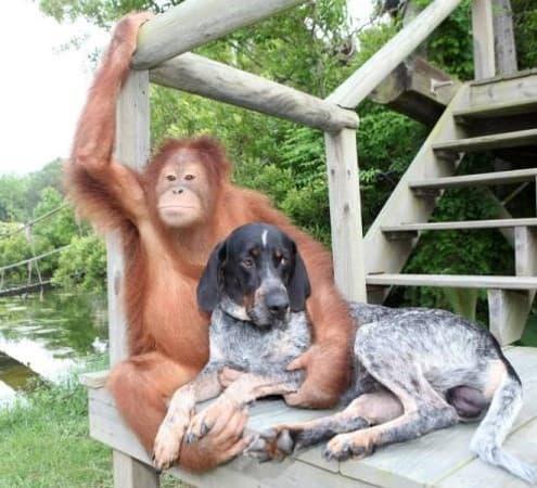 Orangutan and Coonhound