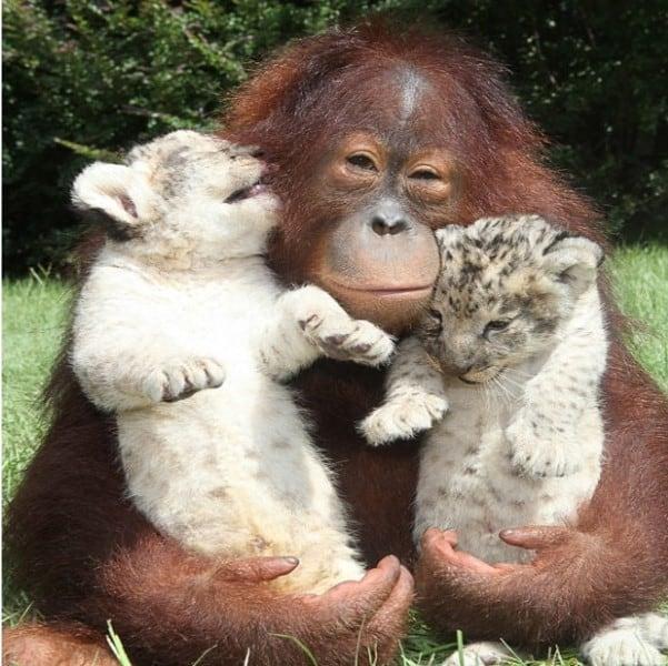 Orangutan and Lion cubs