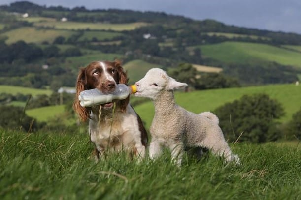 Sheep and Dog