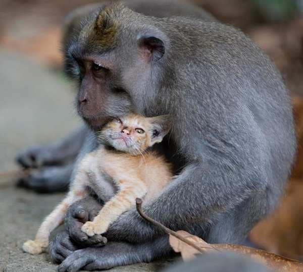 macaque and kitten